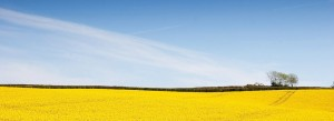 004-Rape Seed Fields-Nr Liskeard-130531